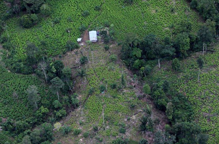Плантація з вирощення коки у колумбійських Андах