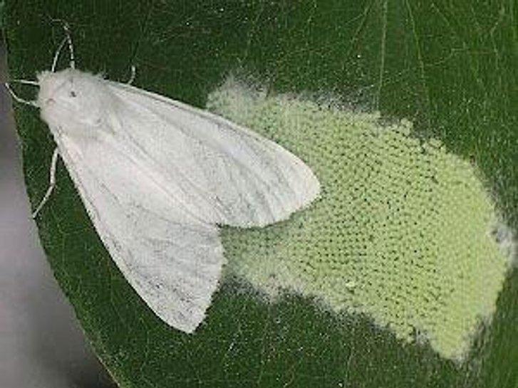 Американський білий метелик – небезпечний карантинний шкідник_1