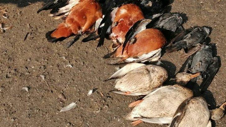 Експертиза підтвердила, що червонокнижних журавлів на Херсонщині вбила отрута для гризунів_1