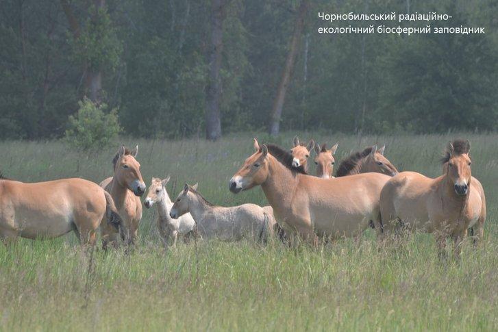 У Чорнобилі збільшився табун коней Пржевальського: є молоді лошата_1
