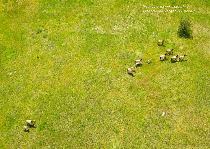 У Чорнобилі збільшився табун коней Пржевальського: є молоді лошата_2