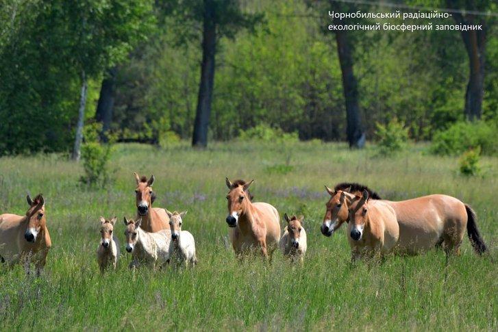 У Чорнобилі збільшився табун коней Пржевальського: є молоді лошата_3