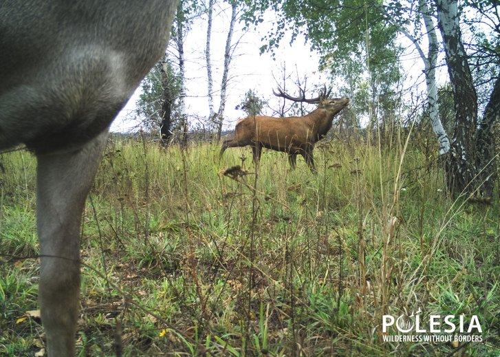 У Чорнобилі фіксують ріст популяції оленя благородного_1