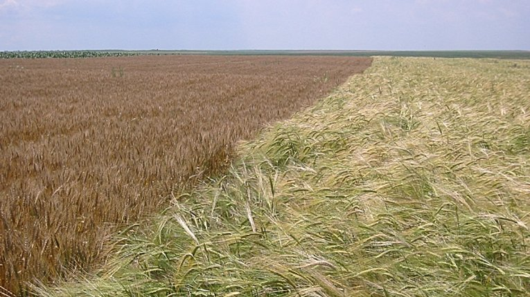 Пшениця витісняє неліквідне жито з полтавських полів