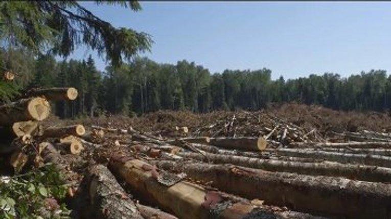 Лісівники зібрались нашвидкуруч вирубати 700 га сосен