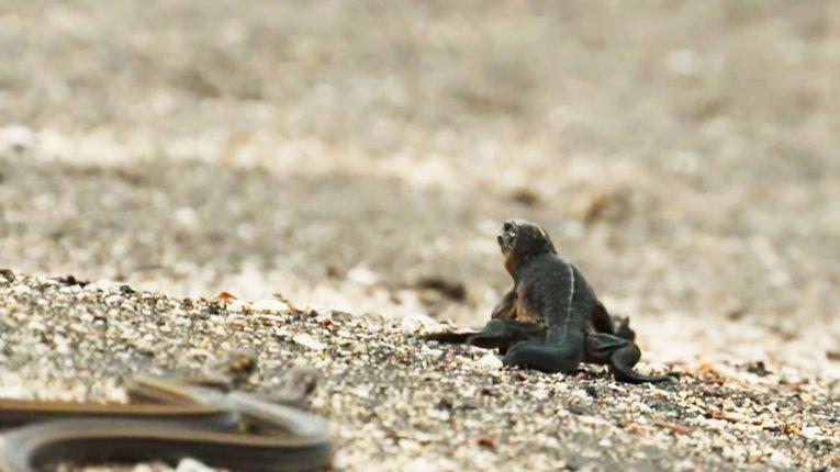 Відео дня: Погоня голодних змій за дитинчатами морських ігуан