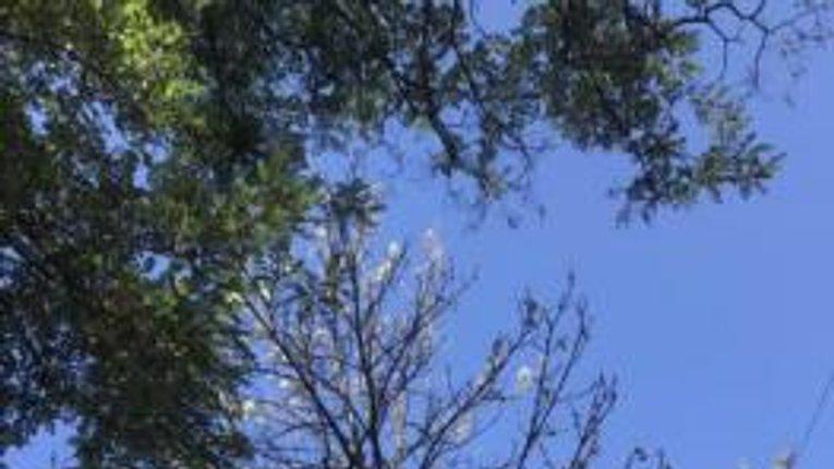 Красива аномалія: у Кременчуці наприкінці літа зацвіли каштани