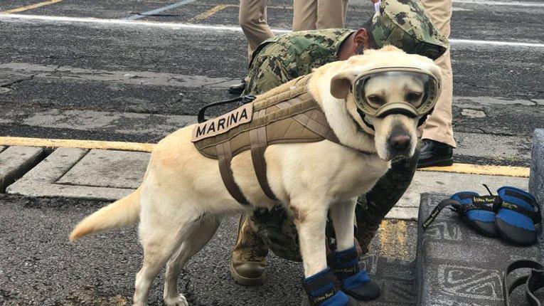 Собака Фріда врятувала життя 52 людей під час землетрусу в Мексиці