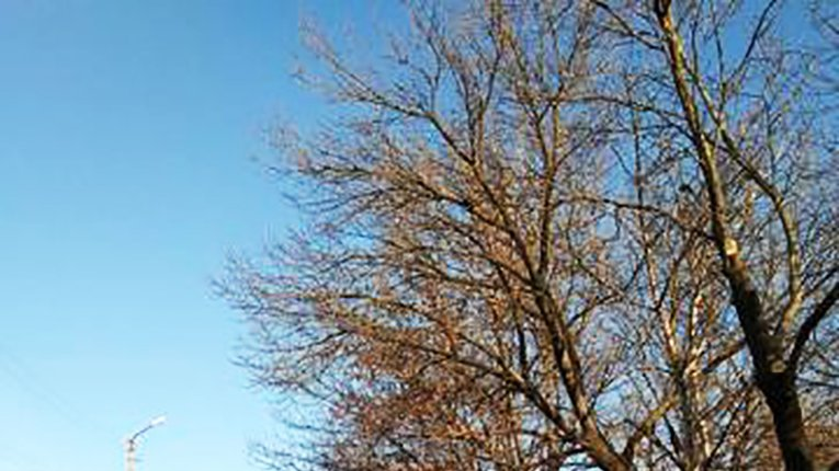 Санітарне обрізання у Кременчуці — прикриття для знищення здорових дерев