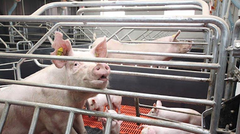 Слідом за молочними фермами в Україні банкрутують свинокомплекси