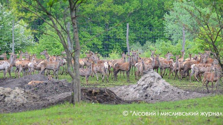 На Полтавщину завезли 100 європейських оленів