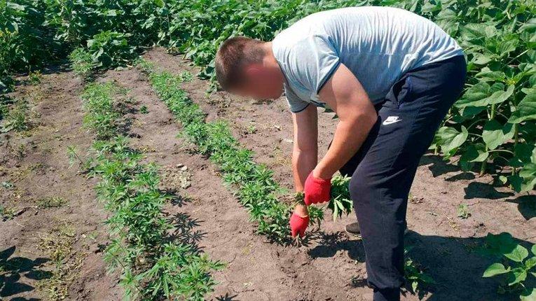 На Полтавщині підприємливі ділки серед соняхів вирощували коноплю