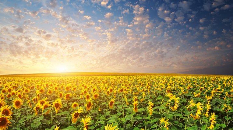 Україна – світовий лідер з експорту соняшникової олії