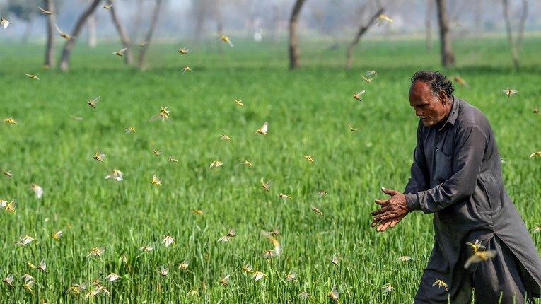 Навала сарани у Пакистані спустошила річні посіви