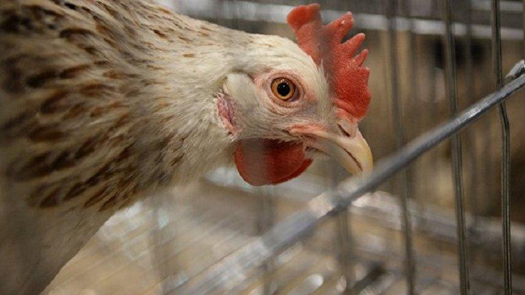 Украв курей, качок і гусака: Чутівський суд виніс вирок поціновувачу свійської птиці