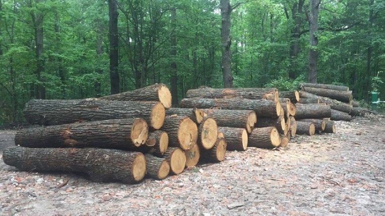 За вирубку 380 дубів судитимуть лісничого