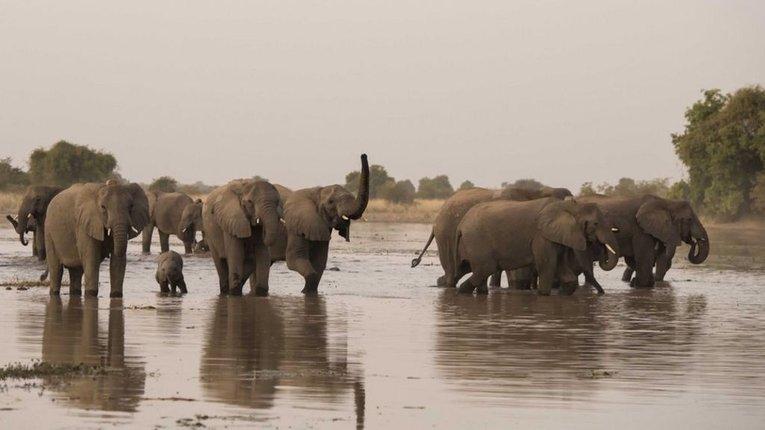Африканські слони за крок від вимирання