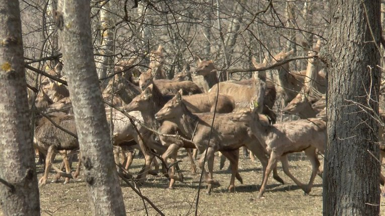 На Полтавщині у мисливські угіддя випустять 150 оленів