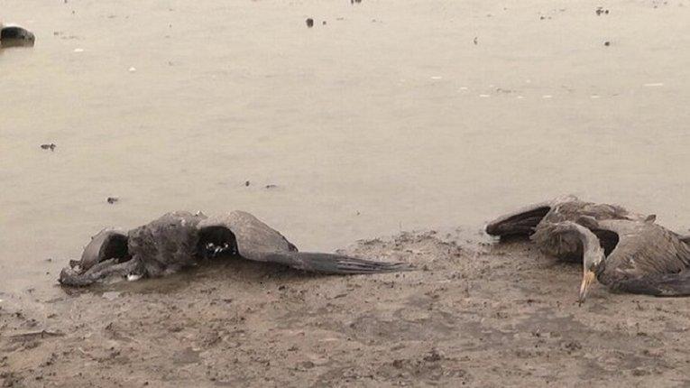 Експертиза підтвердила, що червонокнижних журавлів на Херсонщині вбила отрута для гризунів