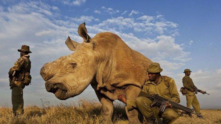 Самка північного білого носорога, яких залишилося всього 2 в світі, бродить в оточенні озброєних охоронців