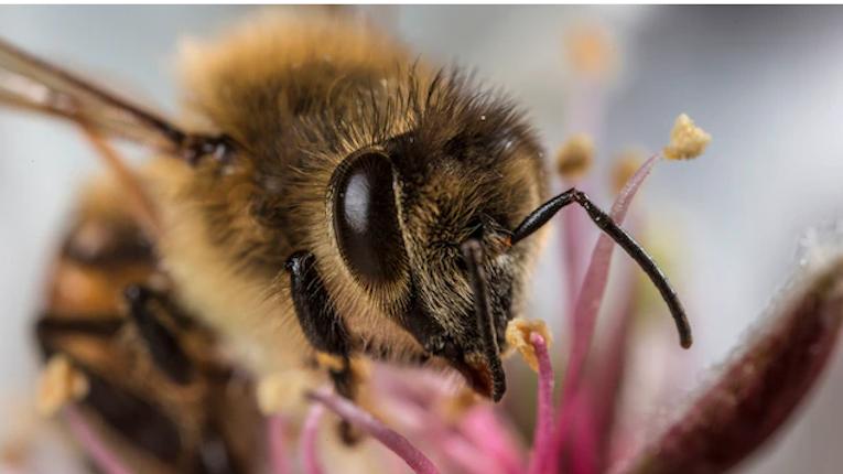 Виявлена здатність бджіл очищати повітря