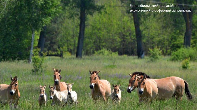 У Чорнобилі збільшився табун коней Пржевальського: є молоді лошата