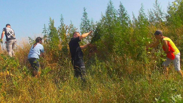 У Ромодані виявили посіви нарковмісних рослин