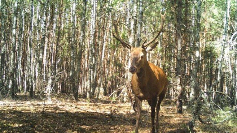 У Чорнобилі фіксують ріст популяції оленя благородного